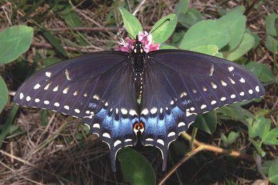 800px-Pristine_Black_Swallowtail